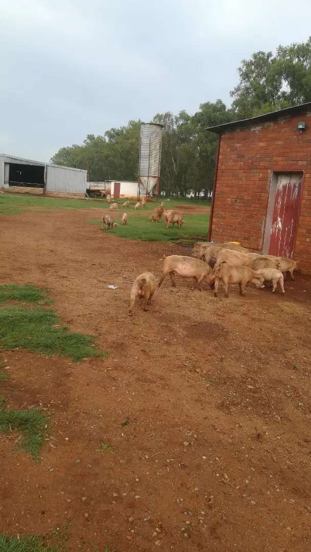 Pigs for sale 0