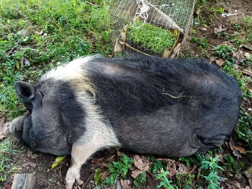 Pig for sale 0
