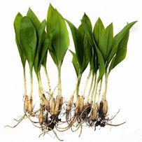 Czosnek niedźwiedzi liście cebulki rośliny 20zł/kg WYSYŁKA