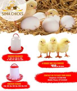 Chicks, chicken feeders and drinkers