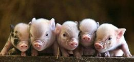 Мини свинки - домашние сарванцы