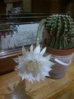 Цветущий Кактус эхинопсис