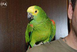 Ручной зеленый попугай Амазон суринамский птенцы выкормыши