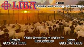1000 goats and sheep for sale this Tuesday