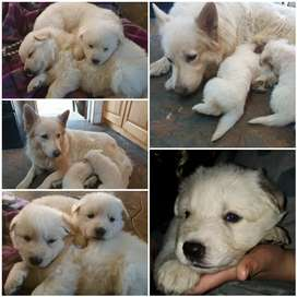 Pure White Swiss Shepherds Puppies