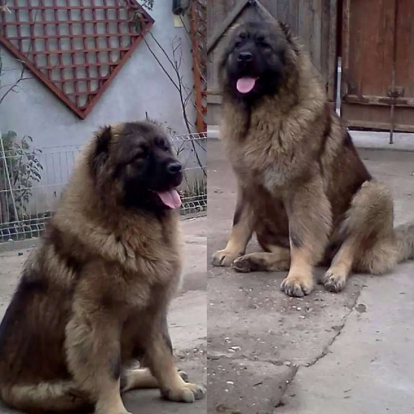 Clean Security Dog For Sale 0