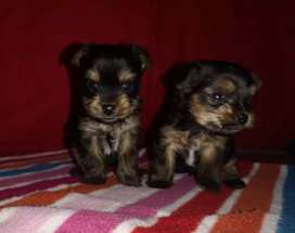 Yorkshire Terriers (Pocket size)