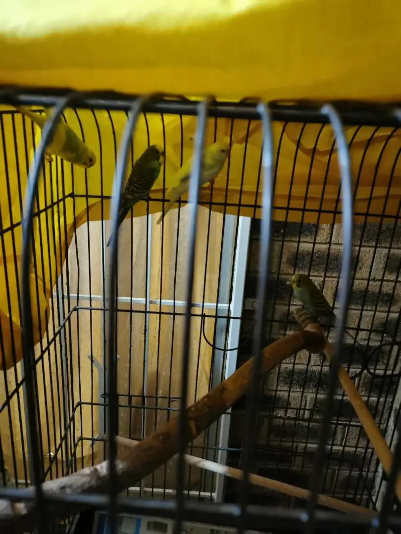 Budgies and the cage 0