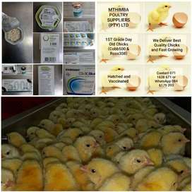 We selling chicks