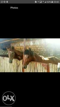 horse to sale 0