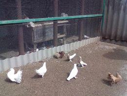 продам декоративных молодых голубей