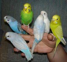 Волнистые попугаи:птенцы, подростки, взрослые пары