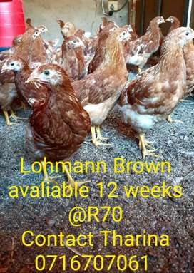 Lohmann brown chickens