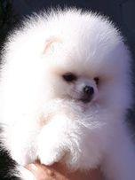 Pomeranian fci chłopak piekny super cena