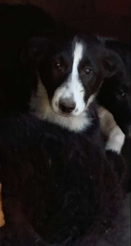 Rough x border collie puppies for sale 0