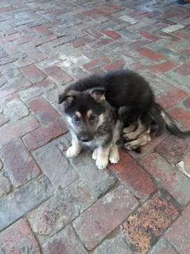 German Shephard puppies for sale.