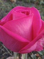 Продам саженцы роз ЛЕТОМ -Осенью-Весной оптом .кусты роз / окулянт