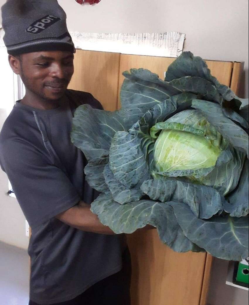 HUGE Cabbage for sale and BIG spinach bundle
