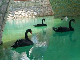 Чёрные лебеди очень дешево!!!