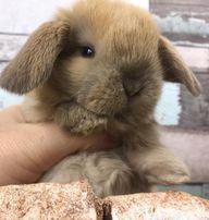 Mini lop królik miniaturka miniaturowy baranek mini teddy dowóz