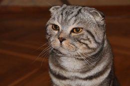 Вязка кот шотландский (скотиш фолд,мальчик)