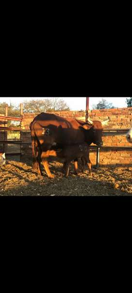 Cow and Bull calf