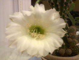 Дитинка кактуса