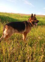 Вязка собак Кобель немецкой овчарки для вязки