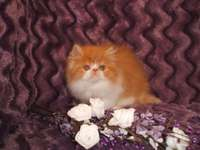 Image of Special Red And White Registered Persian Kitten.