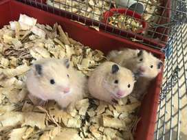 Syrian and dwarf hamsters available
