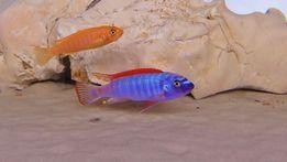 Labeotropheus Trewavasae Thumbi West Red