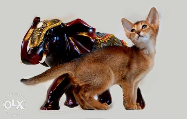 Абиссинские котята - море позитива . Киев - изображение 5