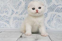Белые шотландские вислоухие котята клубные