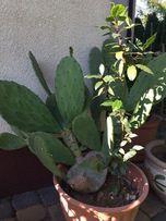 Opuncja kaktus - liść do posadzenia