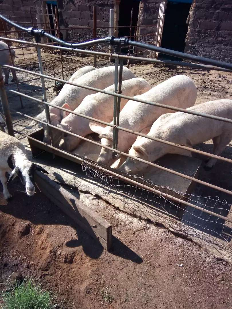 10 breeding pigs(pig business) 0