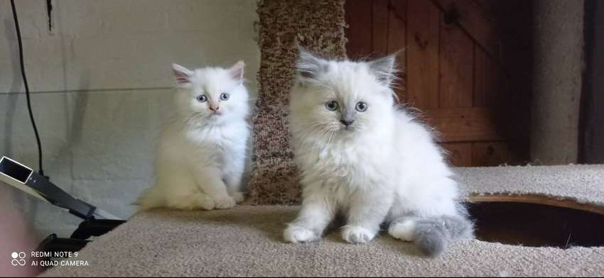 8 week old Persian ragdoll kittens