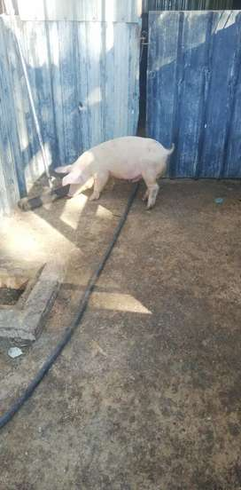 Am selling piglets for 900
