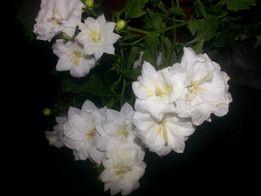 Продам цветы невеста махровая крупноцветковая (кампанула,колокольчики