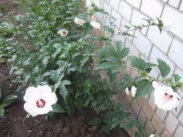Традесканция маки декоративная трава и лук нарциссы тюльпаны цветы