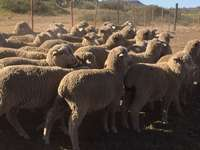 Image of Pregnant Merino ewes for sale