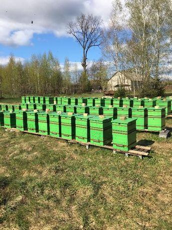 Matki pszczele 2018, Włoszka, Krainka, Buckfast, AMM, Elgon. Białystok - image 3