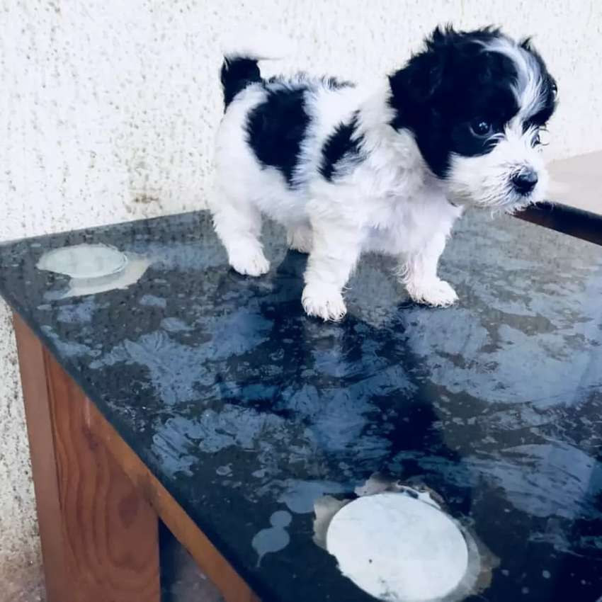 Lhasa apso pup for sale 0