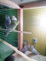 Papuga falista papużki faliste młode i starsze , rożne kolory