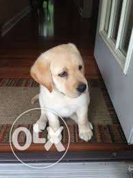 Image of Stunning thoroughbred pedigree golden Labrador puppies