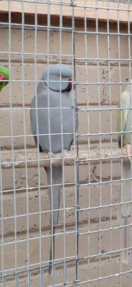 Mature grey male Indian ringneck for sale