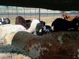 Goats sheeps cows call for info