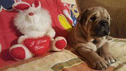 Ка де Бо (Кадебо) - лучший щенок из помета (алиментный).