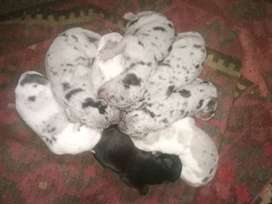 Beautiful lovely great dane puppies for sale
