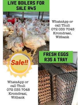 Broiler Chickens & Eggs