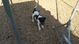 Fox Terrier female 1 only available